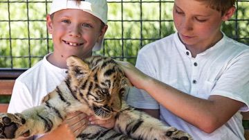 Petting tigers is no longer allowed by TripAdvisor